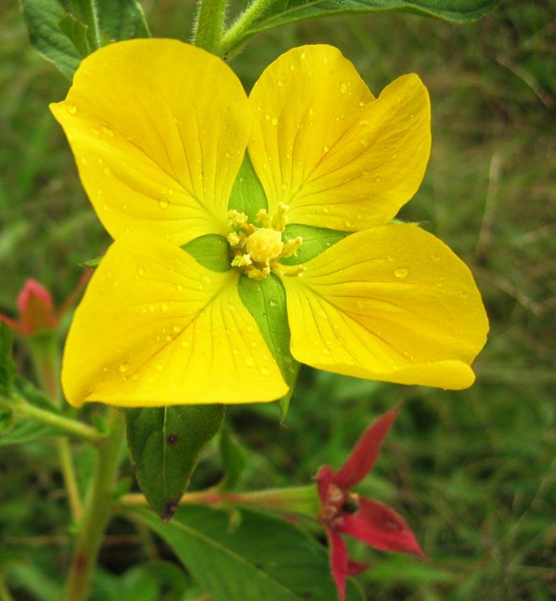 Filedirkvdm yellow flower dewg wikimedia commons filedirkvdm yellow flower dewg mightylinksfo