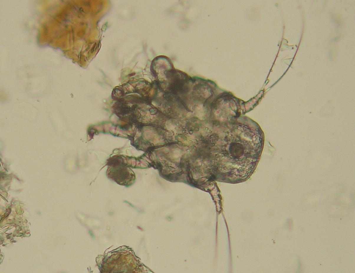 Ear mite - Wikipedia Ear Mites In Dogs