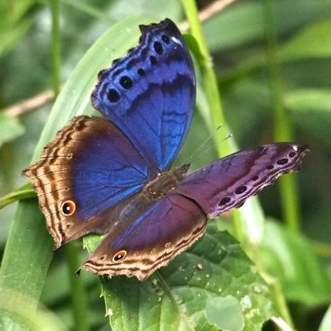 Bộ sưu tập cánh vẩy 6 - Page 20 Eastern_Blue_Beauty_%2814706325064%29