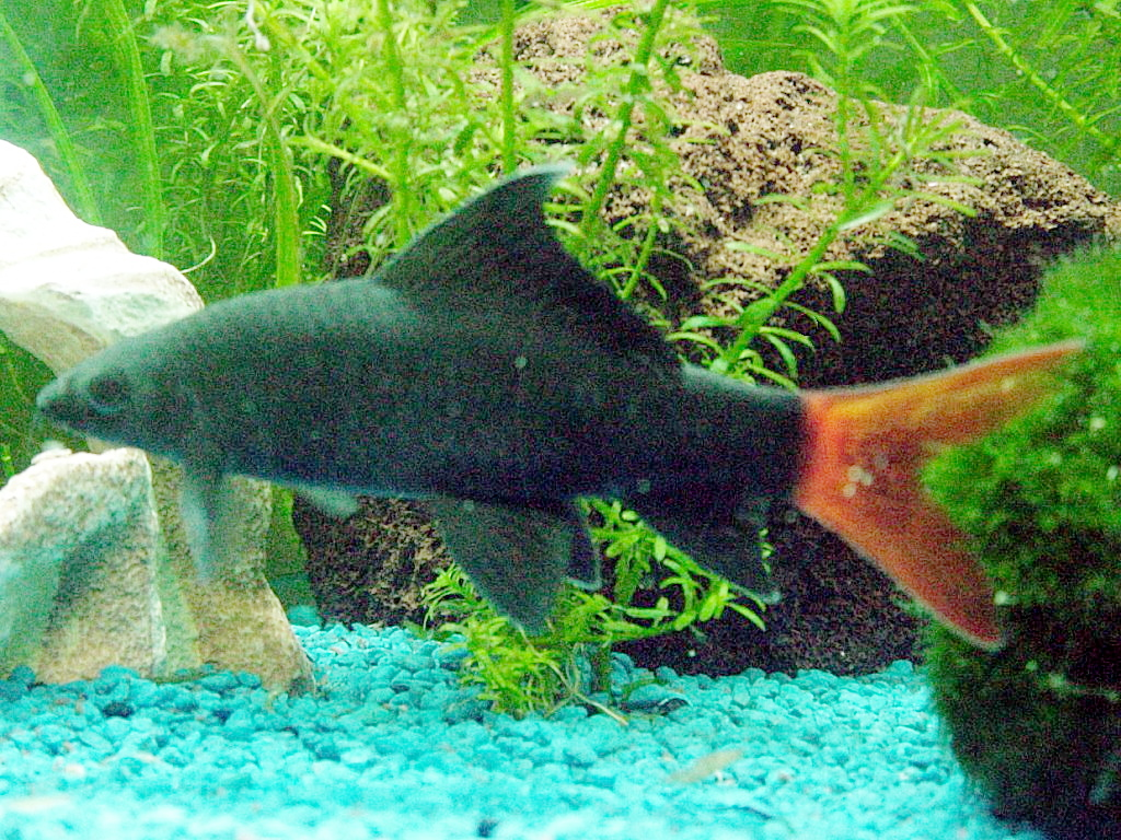 Feuerschwanz fransenlipper wikipedia for Aquarium zierfische