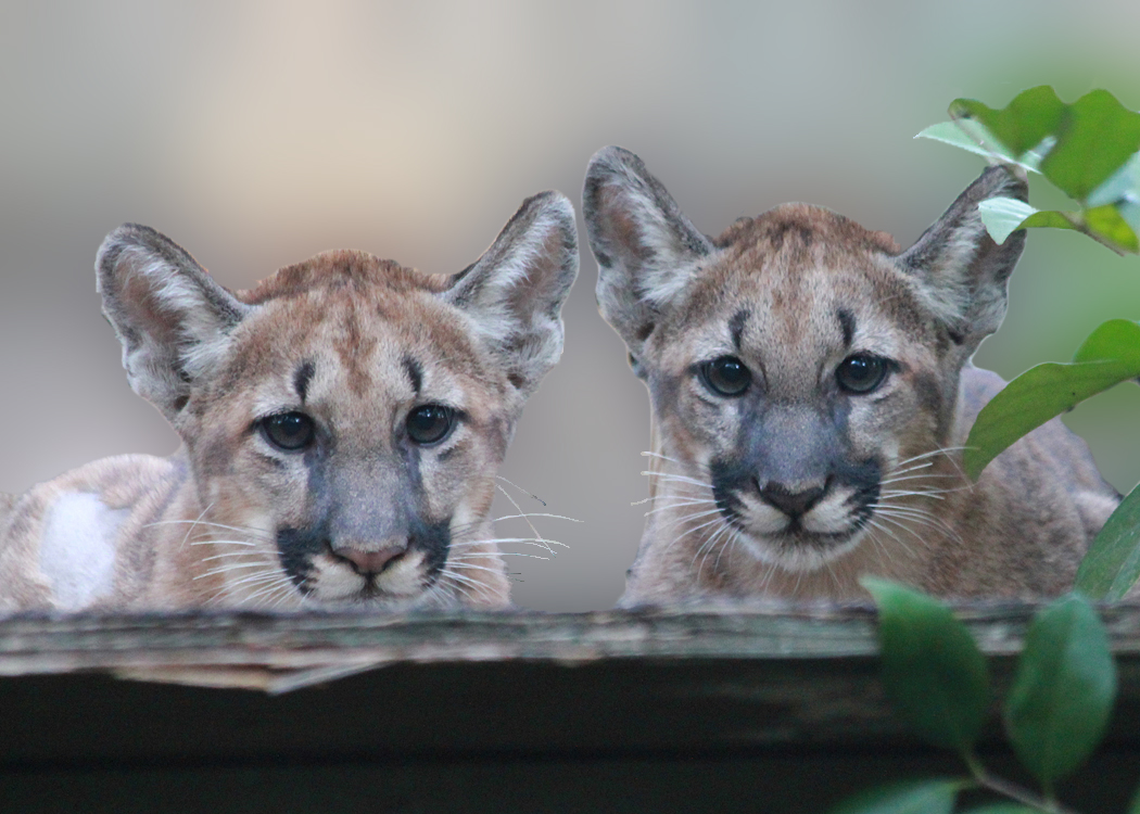 florida panther Florida panther scientific name puma concolor coryi range florida, main breeding range is currently south of caloosahatchee river, but.