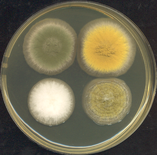 File:Four 3-day old Aspergillus colonies on a Petri dish.png