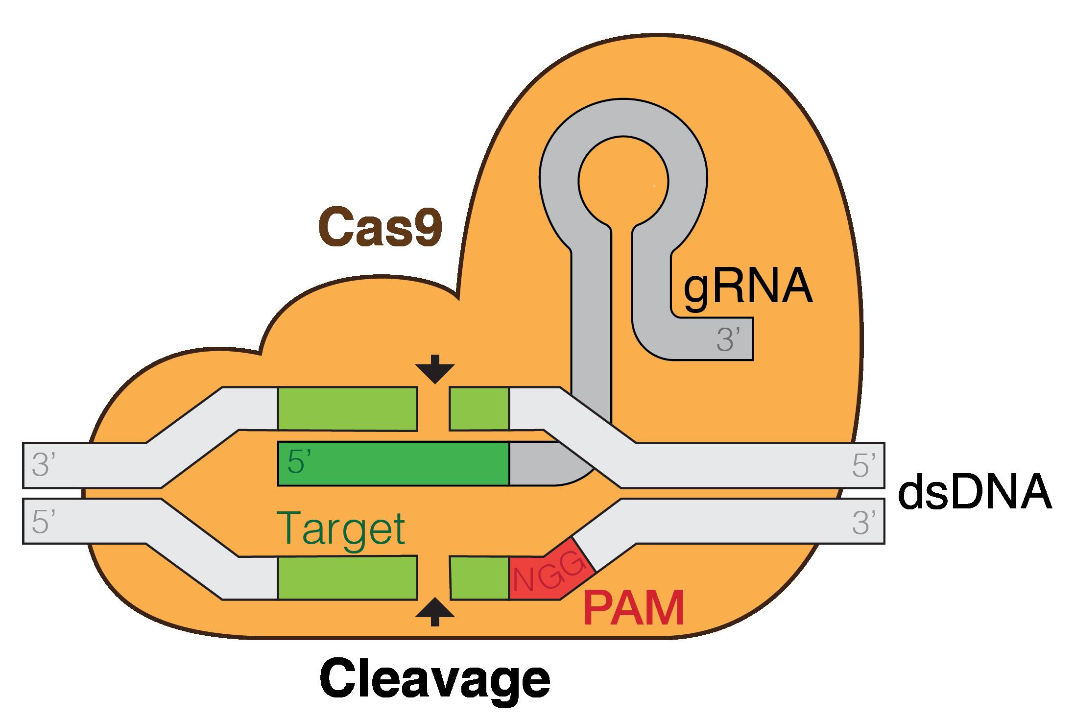Image result for CRISPR/Cas9