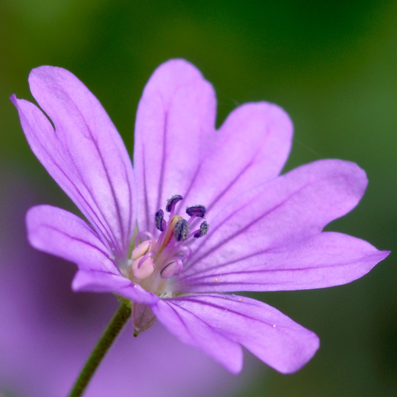 Flower In The Garden File Geranium Pyrenaicum Flower Close Up Jpg Wikimedia