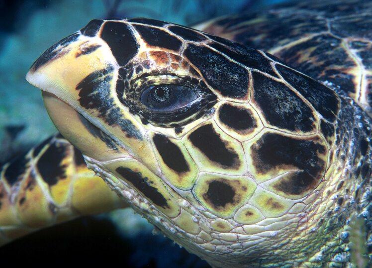 File:Hawksbill turtle doeppne-081.jpg
