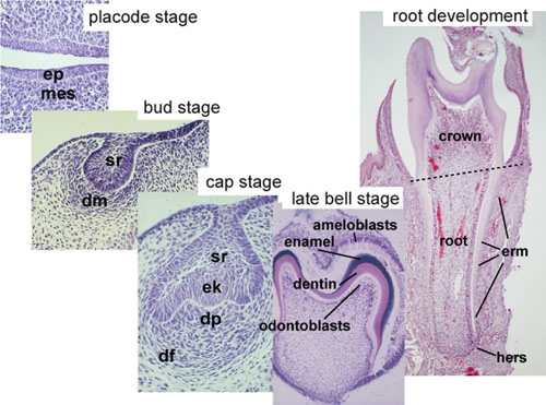Histology of important stages of tooth development..jpg