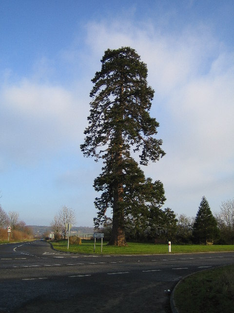 Holy Tree Cross. The Holy Tree (a Giant Sequoia) stands at the cross roads on the old main road just outside Stoke-Sub-Hamdon, now bypassed by the A303. Branches on the far side of trunk probably fall within adjacent grid square.