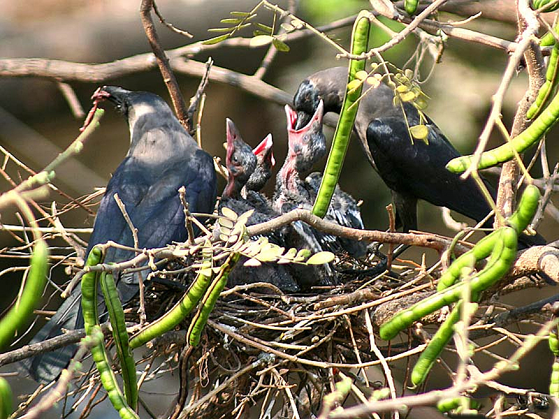 House Crow(Chicks) I IMG 0175
