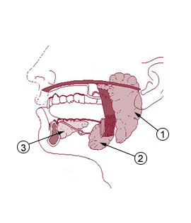Salivary glands and pathologies