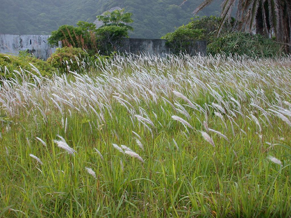 Japanisches Flächenmaß silberhaargras