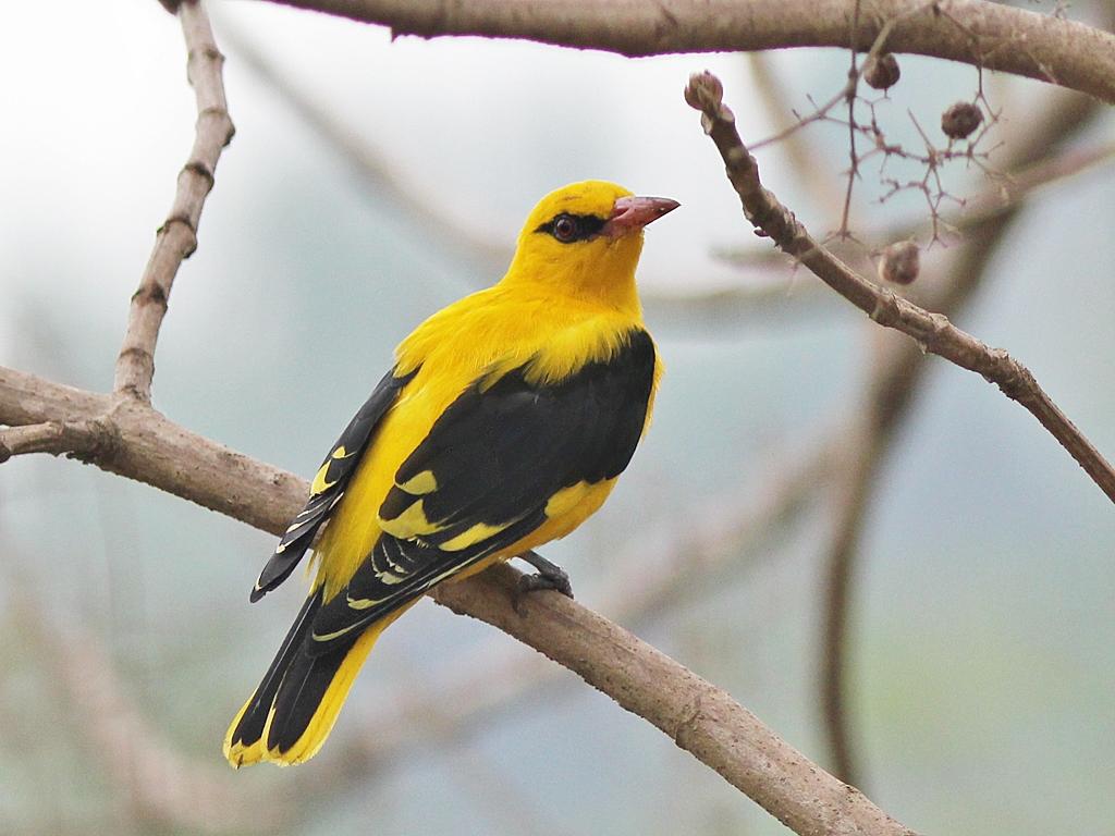 india the golden bird history