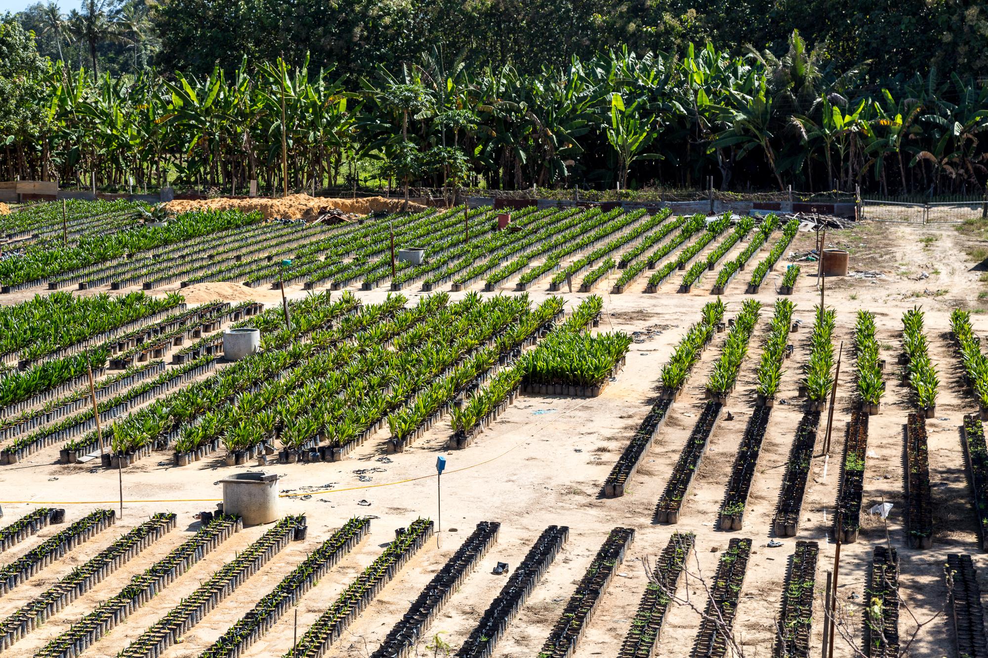 File Keningau Sabah Palm Tree Nursery 02 Jpg