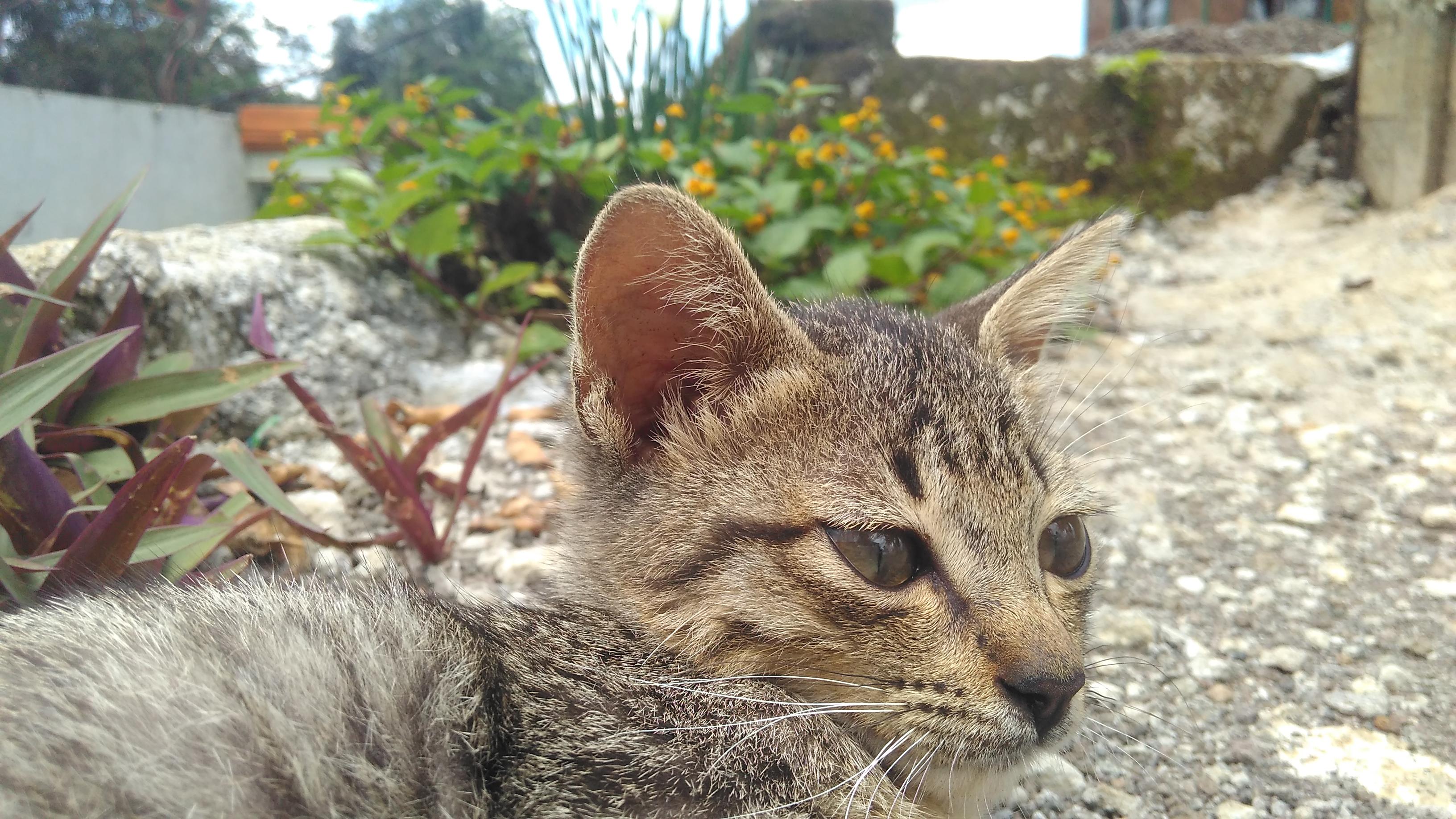 File Kucing Kampung Peliharaan Yang Lucu Dan Imut Jpg Wikimedia Commons