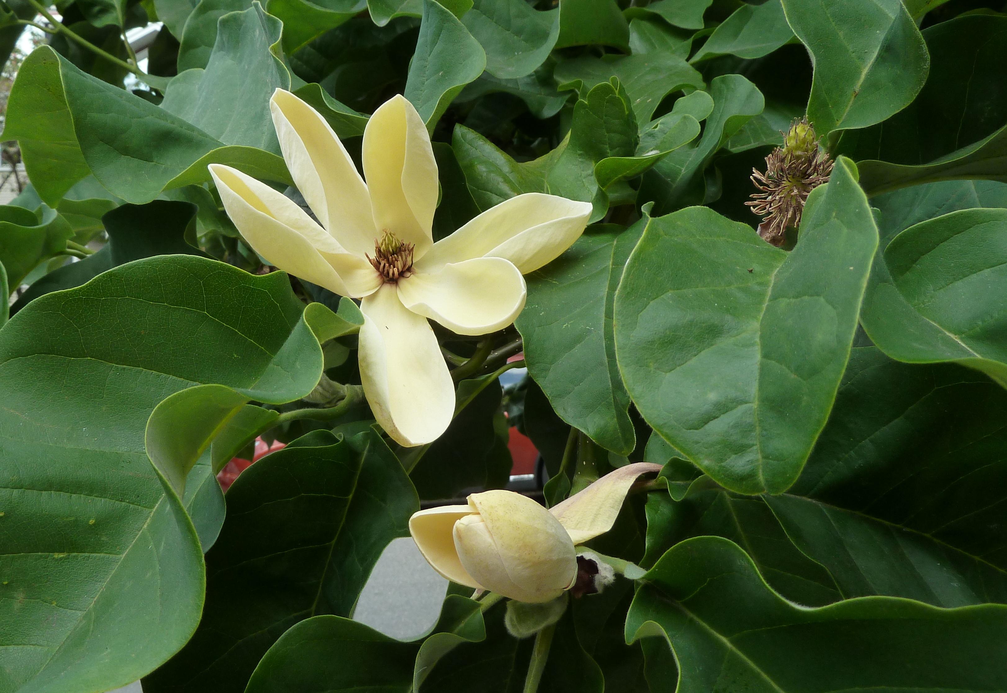 Filemagnolia yellow birdg wikimedia commons filemagnolia yellow birdg mightylinksfo Gallery