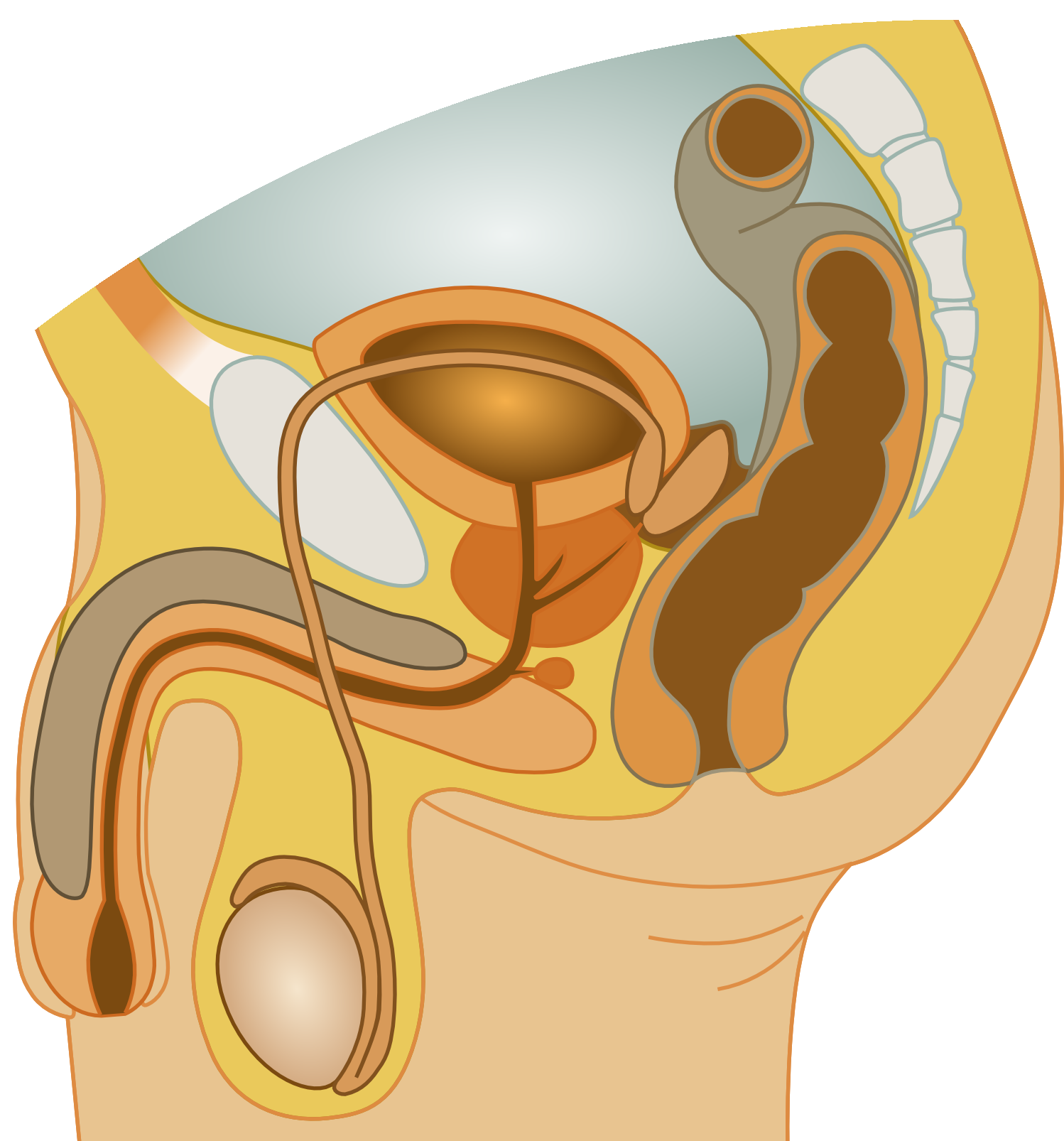 Filemale Reproductive Systemg Wikimedia Commons