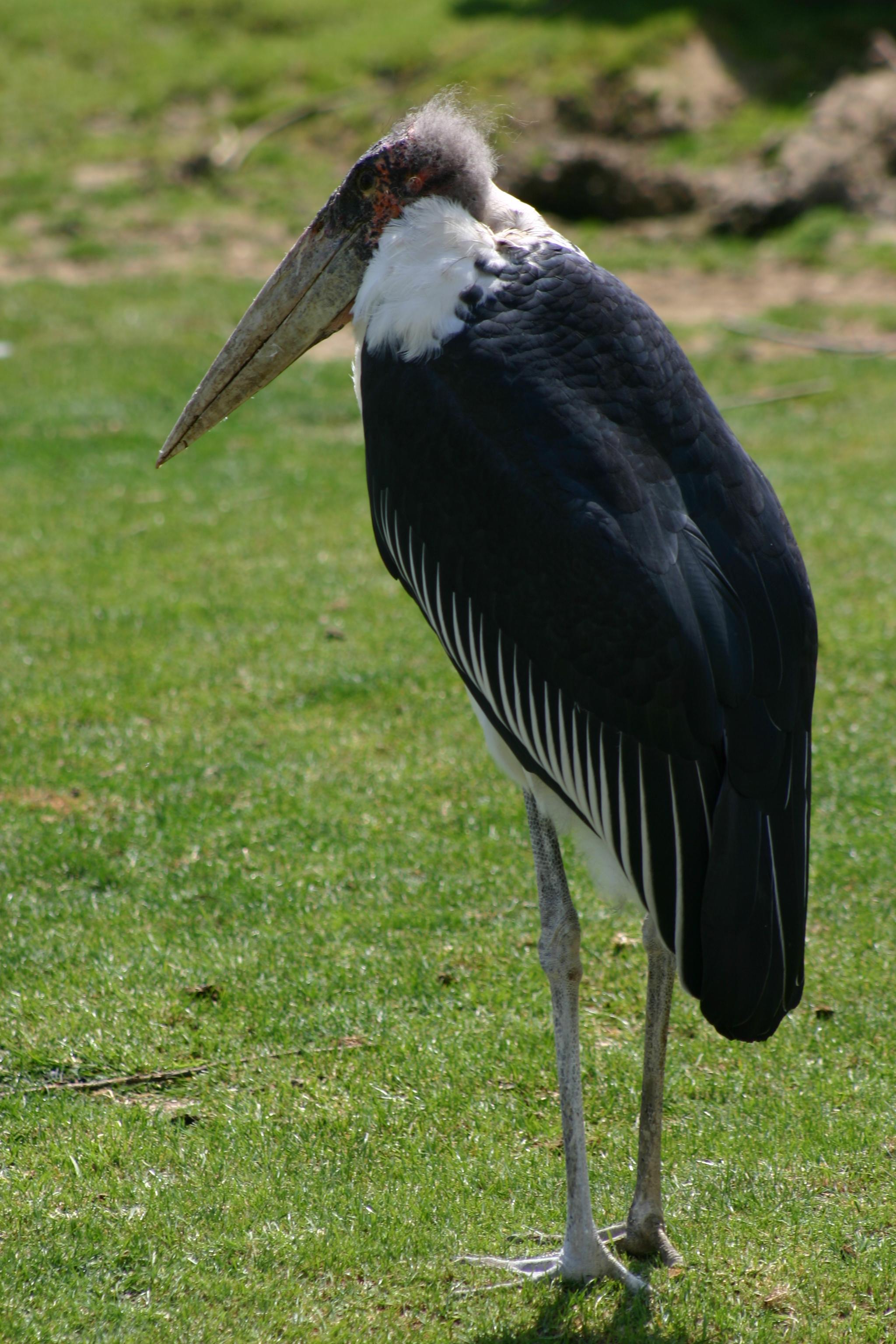 Fichier marabout oiseau jpg wikip dia for Oiseau a long bec