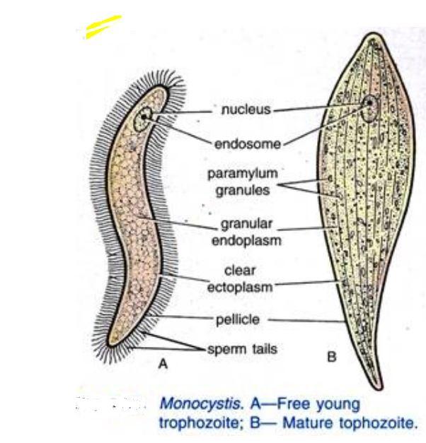 Monocystis  Wikipedia