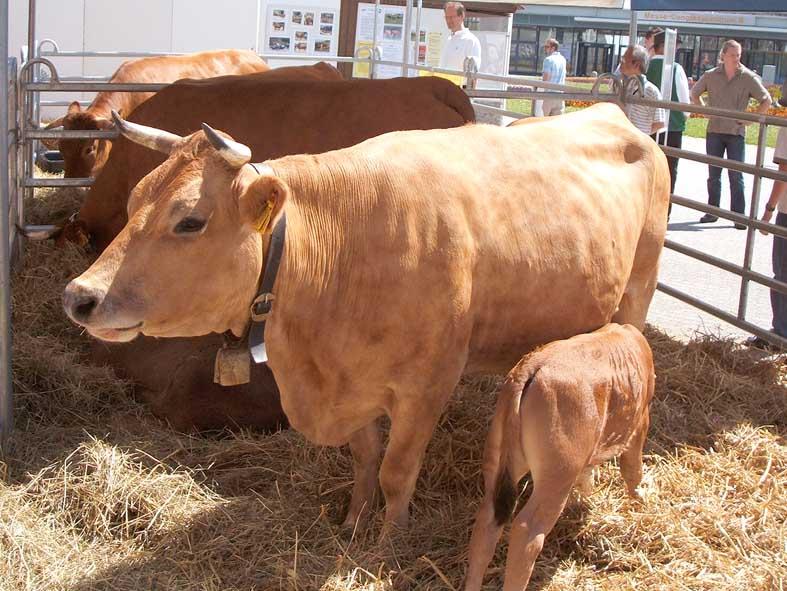 Murnau Werdenfelser Rinder
