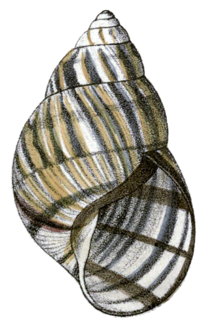 file orthalicus reses reses shell png wikipedia