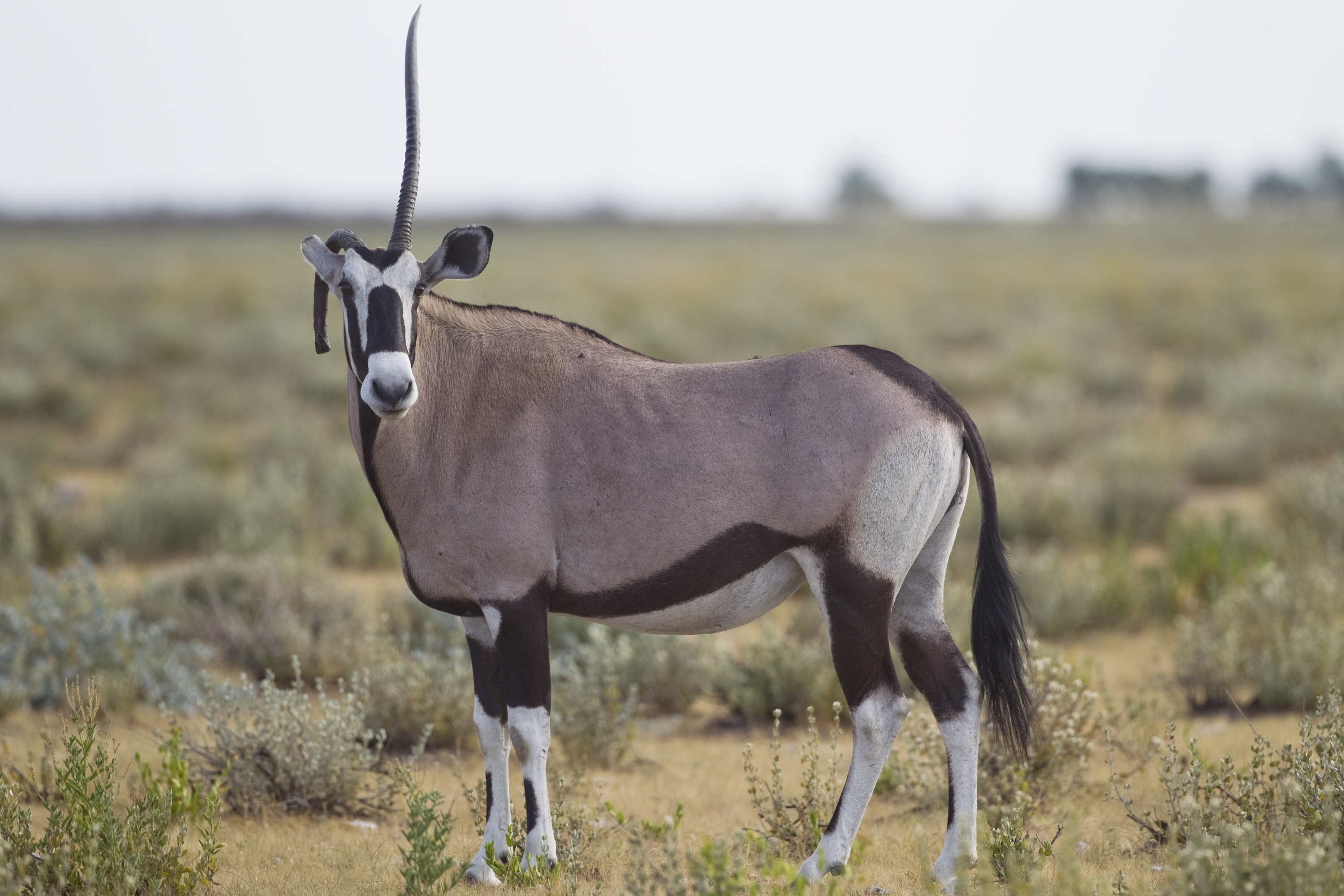 File:Oryx gazella (unicorn).jpg - Wikimedia Commons