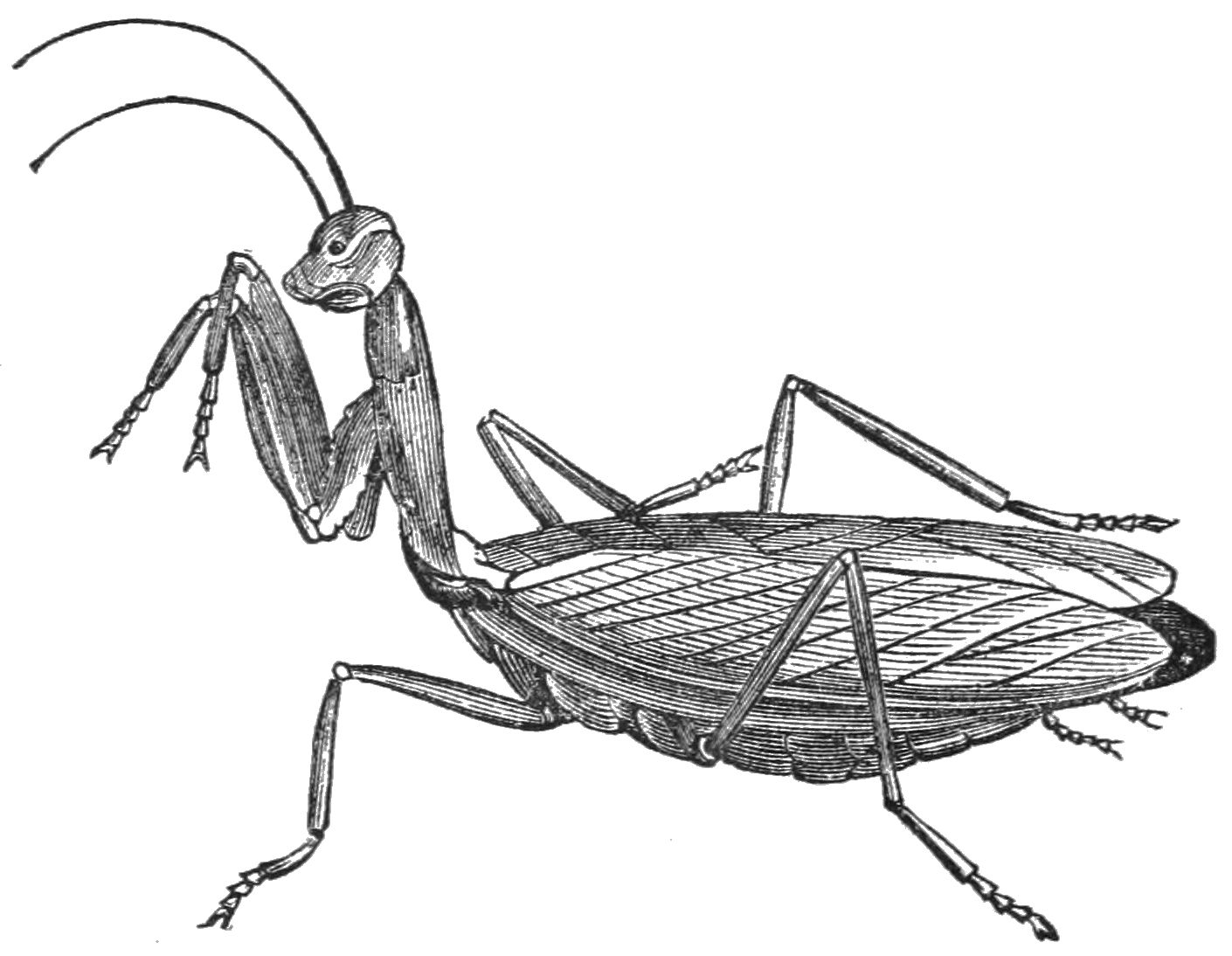 PSM V37 D547 Mantis religiosa with head raised.jpg