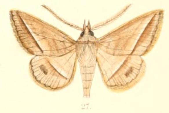 Tập tin:Pl.6-27-Hypospila creberrima Walker, 1858 (syn