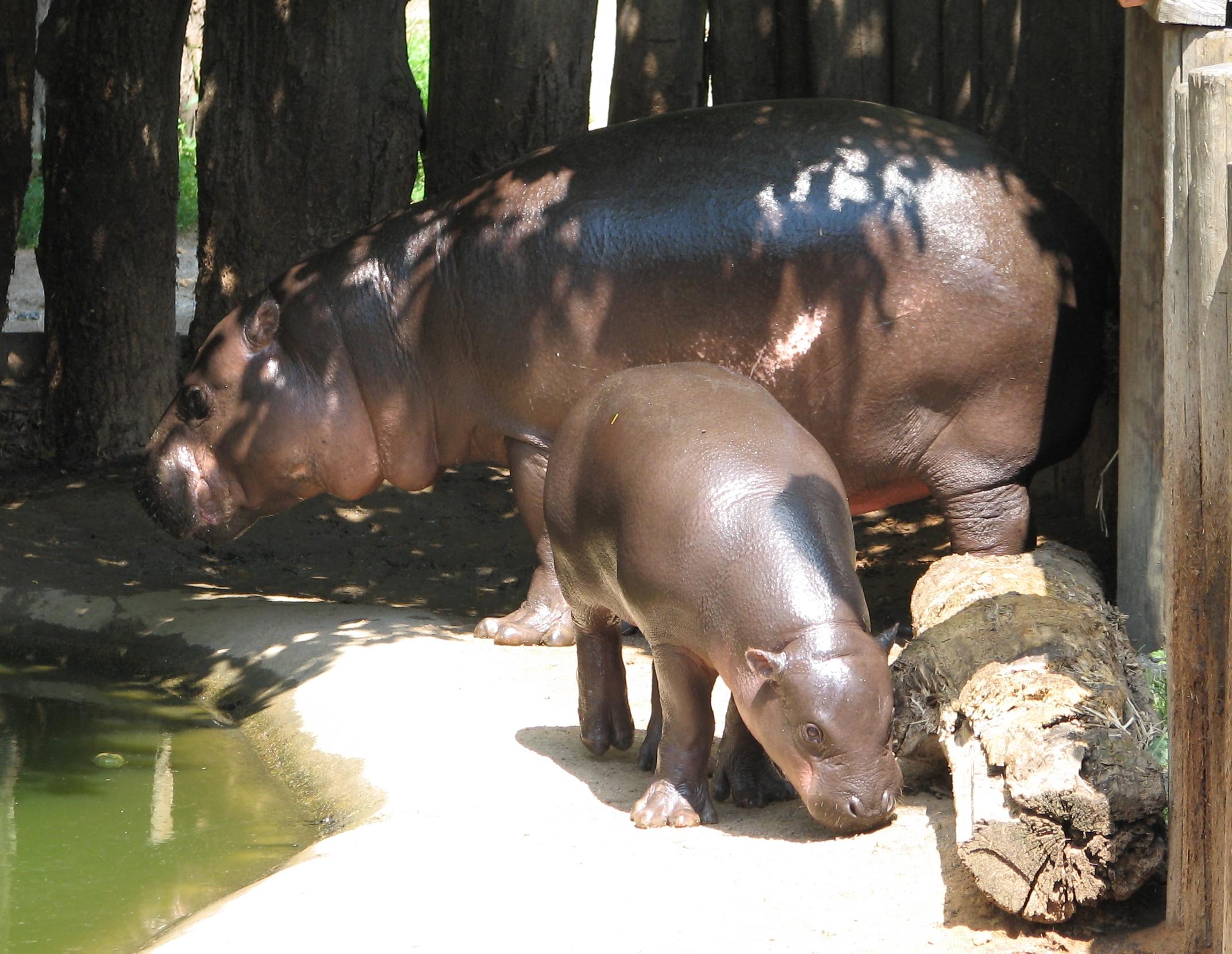 Baby Pygmy Hippopotamus Stands