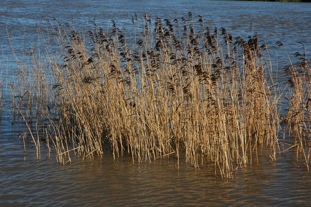 File:Reeds in the River Avon - geograph.org.uk - 1129527.jpg