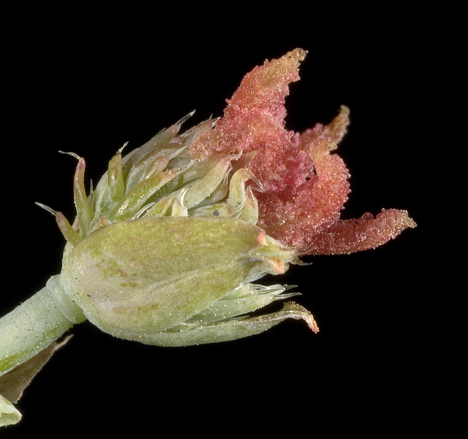 Ricinus communis (female) - Flickr - Kevin Thiele.jpg