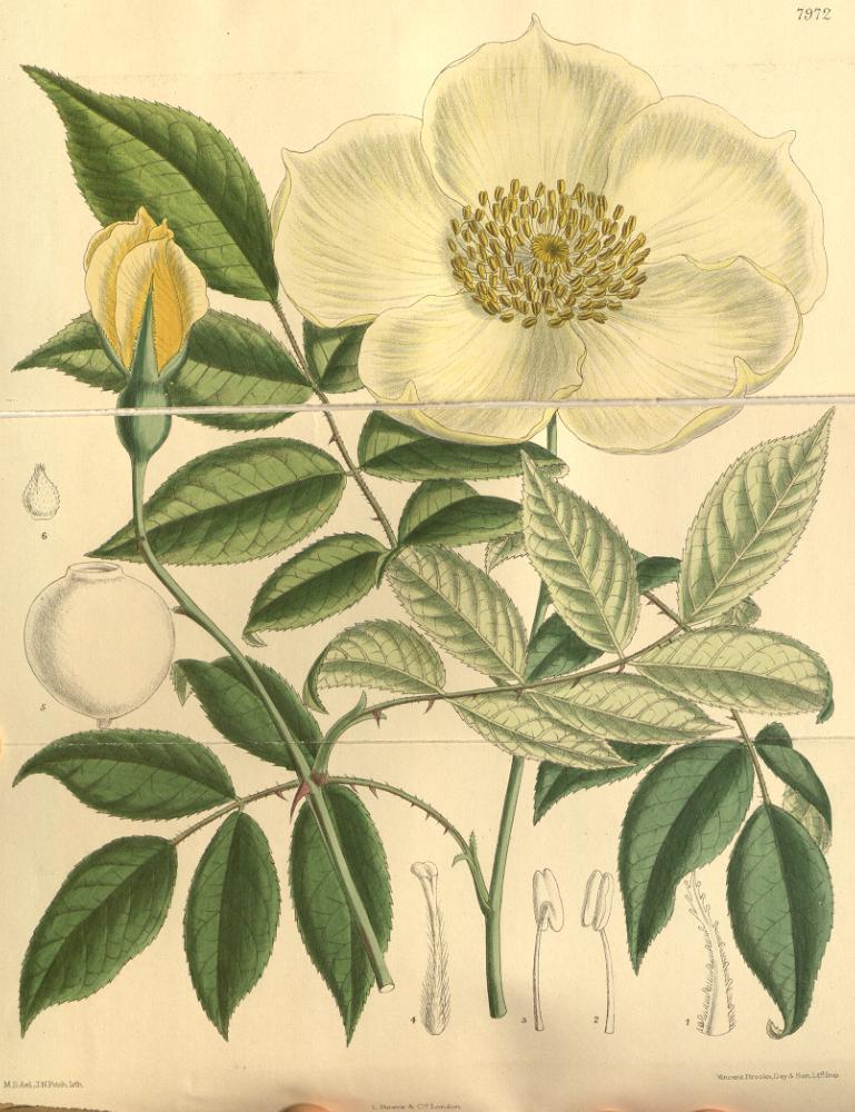 Rosa gigantea (Giant tea rose) (Rosa odorata var. gigantea)