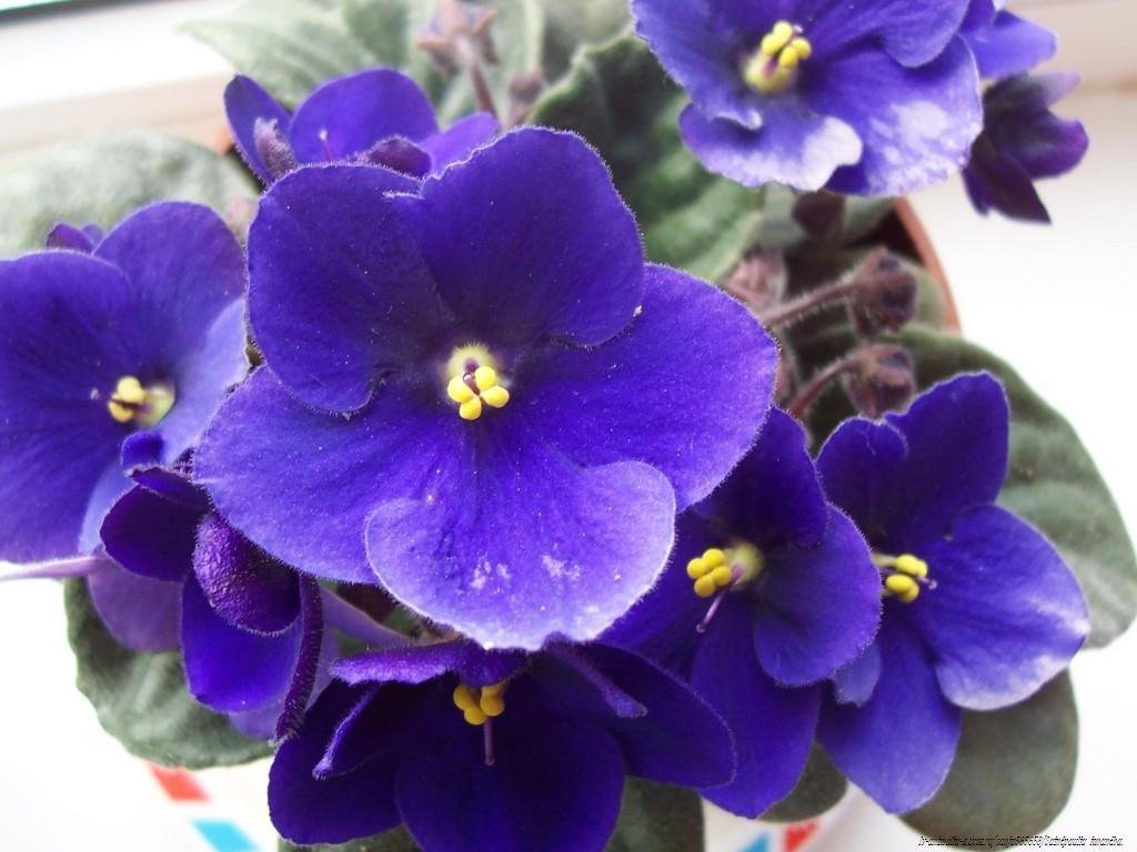 File saintpaulia ionantha 01 jpg wikimedia commons for Violette africane