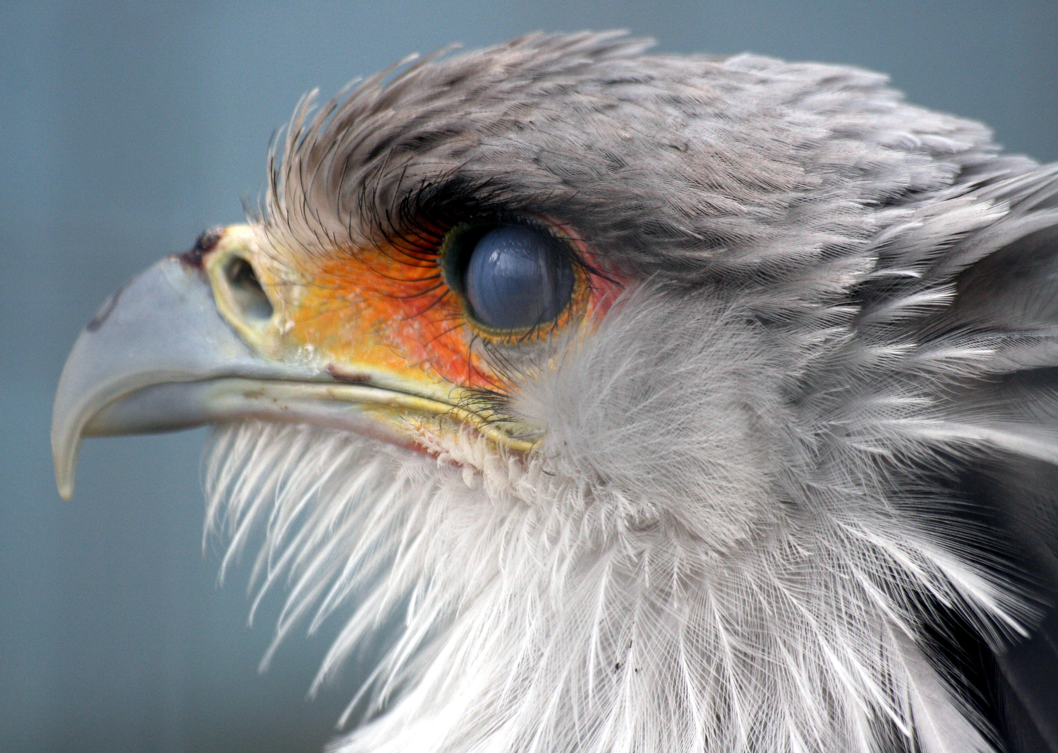 Descrizione secretary bird head