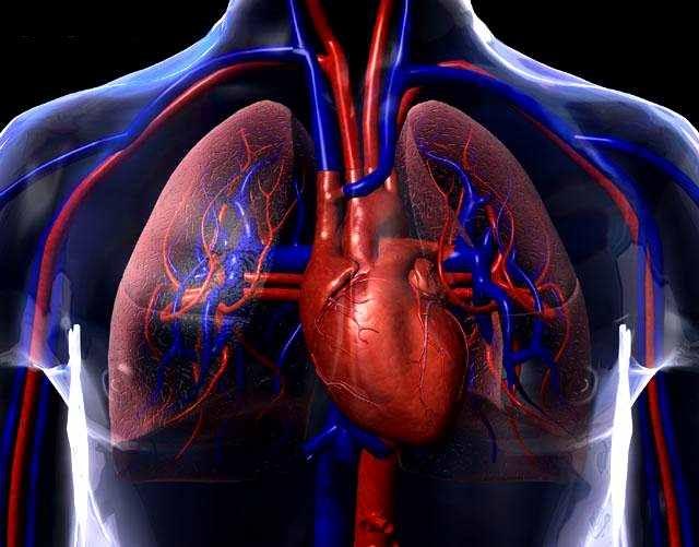 File:Sistema-circulatorio.jpg - Wikimedia Commons