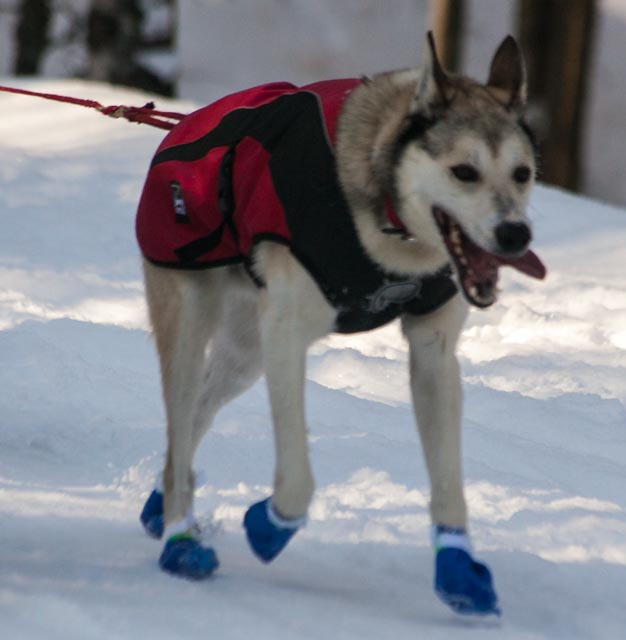 Sled Dog Booties