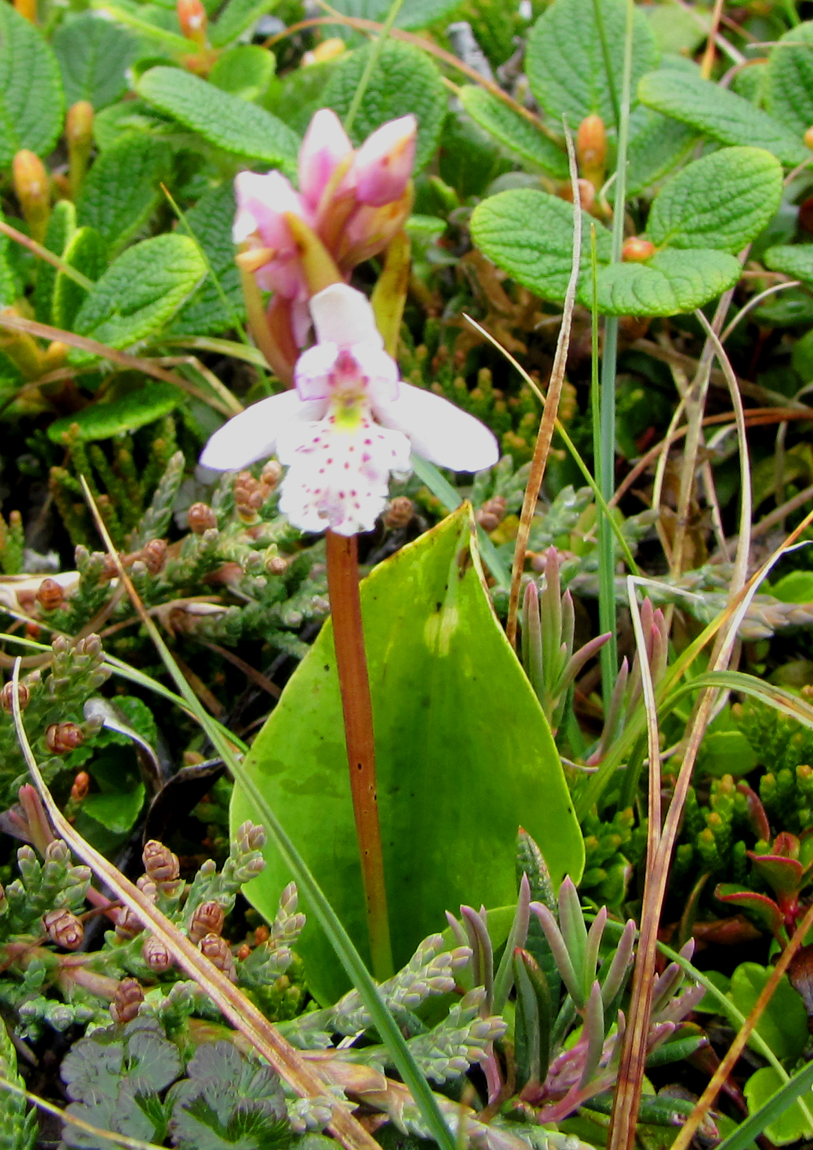 Round leaved orchid.