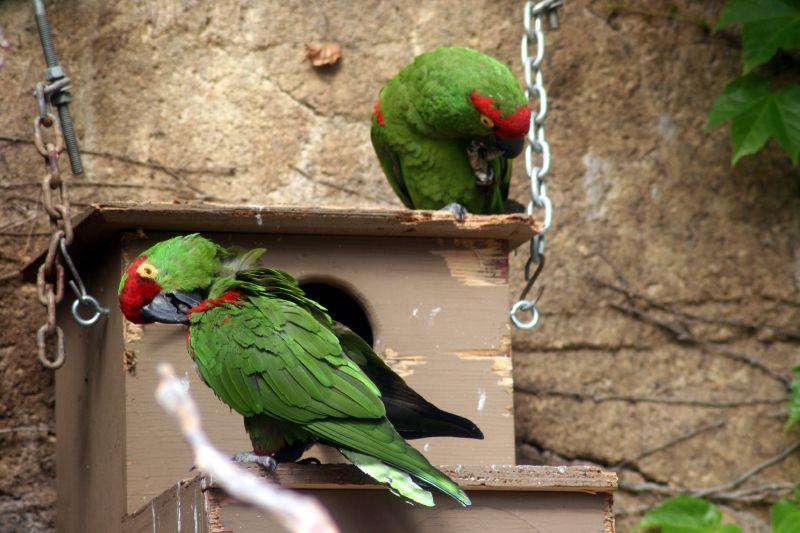 File:Thick-billed Parrot (Rhynchopsitta pachyrhyncha) -two on nestbox2.jpg