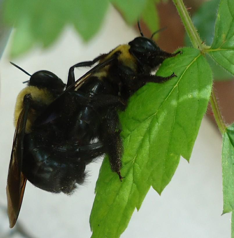 Filetwo Bees Enjoying Sexual Intercoursejpg - Wikimedia -2964