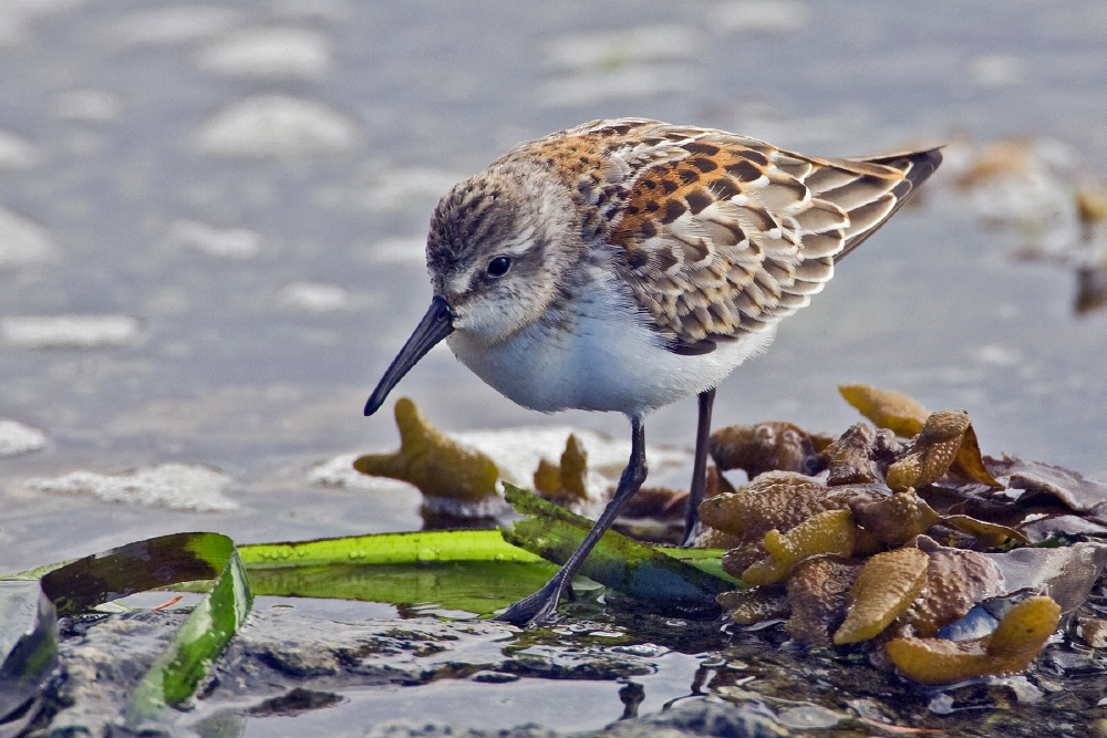 http://upload.wikimedia.org/wikipedia/commons/5/51/Western_Sandpiper.jpg