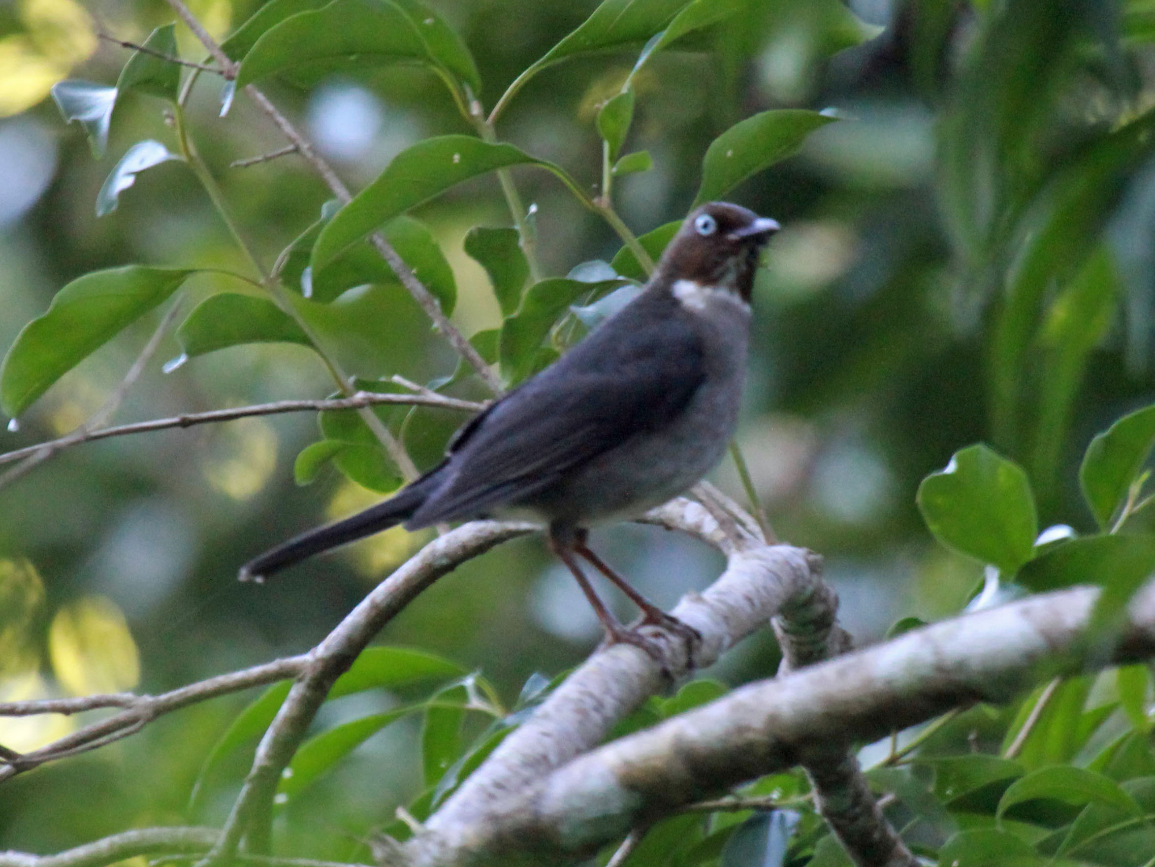 White-eyed Thrush RWD.jpg © DickDaniels (http://carolinabirds.org/)