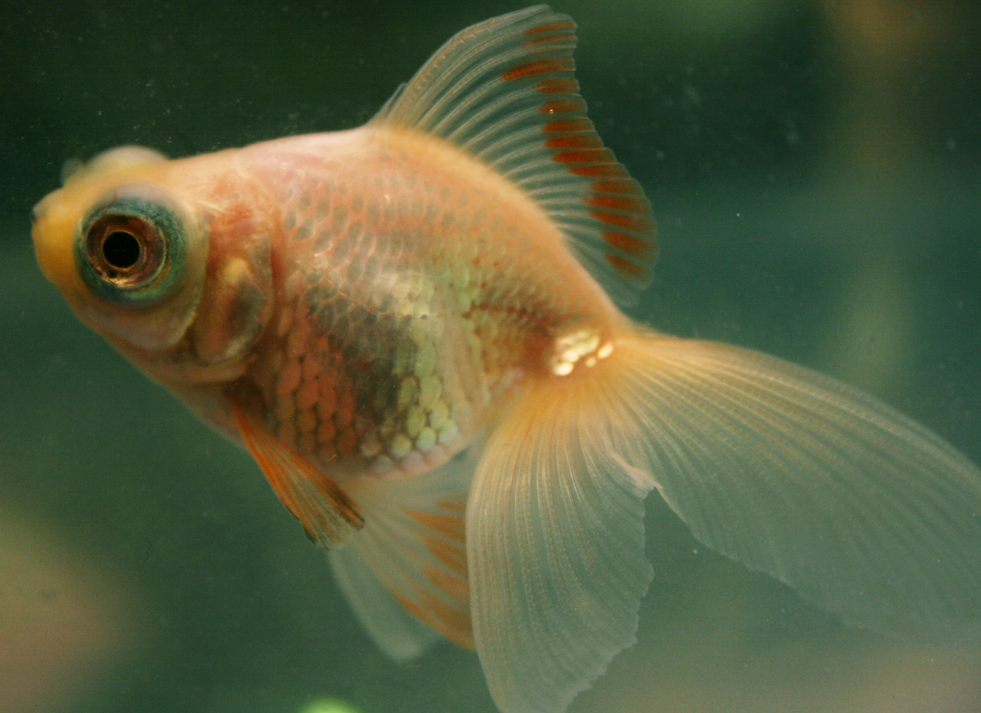 Can Gold Fish Live Onlong Feeder Food