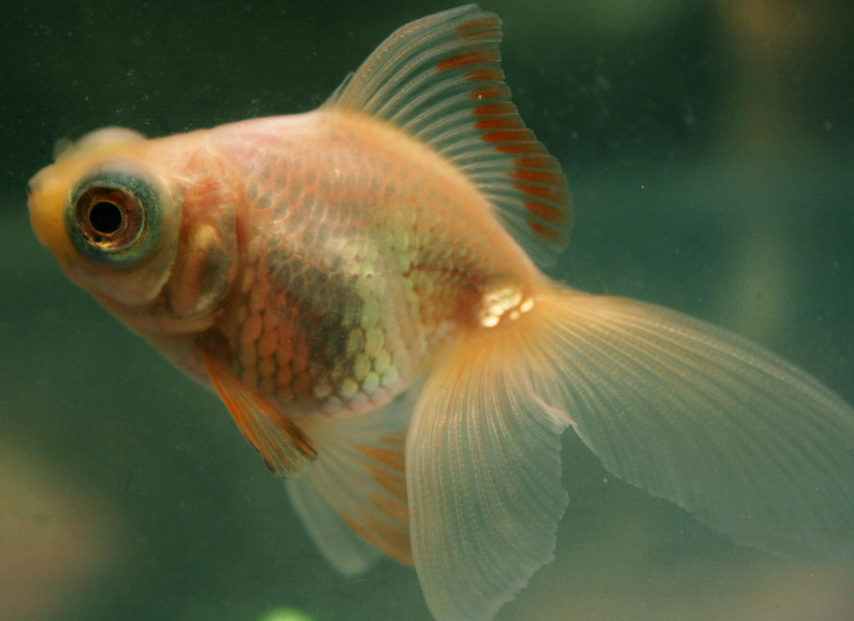 Stupid-Looking Goldfish