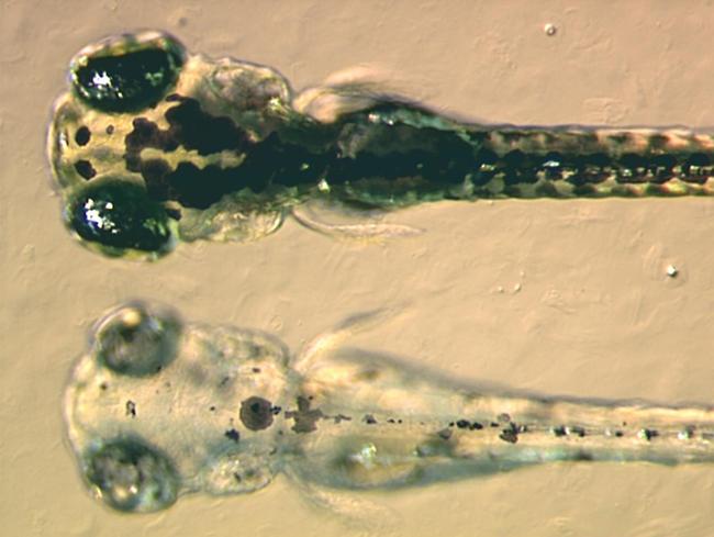 El Glifosato causa neurotoxicidad en vertebrados