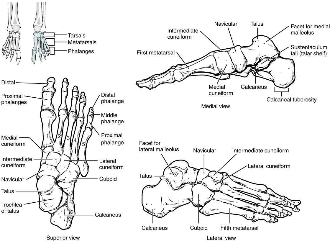 pes planus - bones of the foot