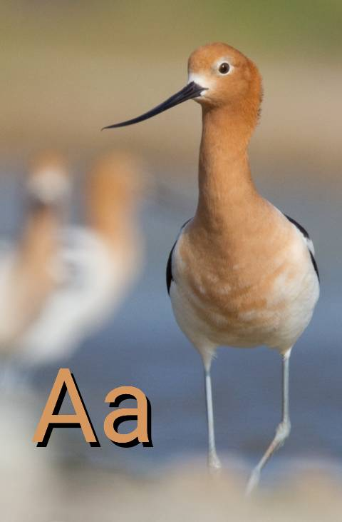 A is for Avocet.jpg