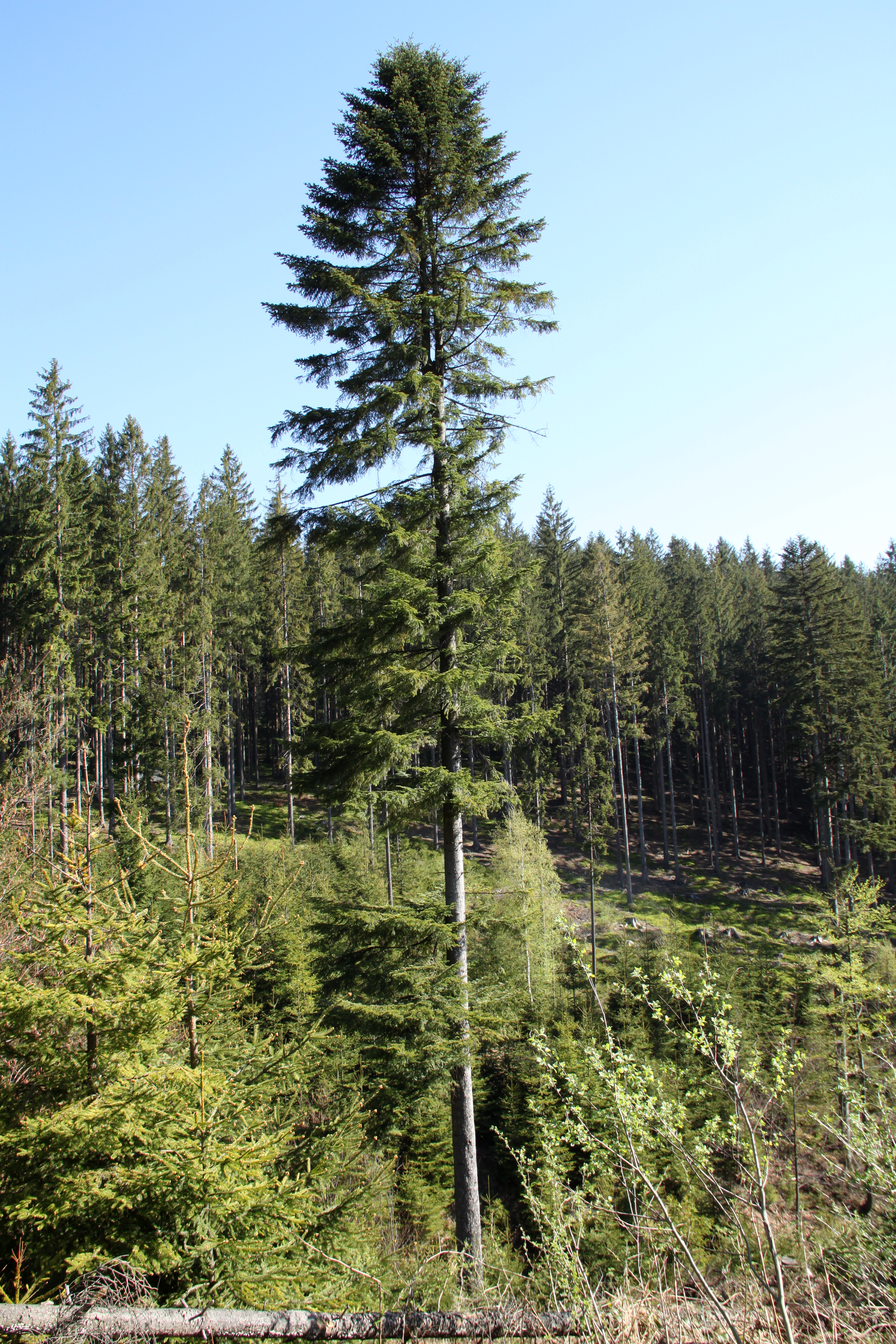 Abies Wikispecies