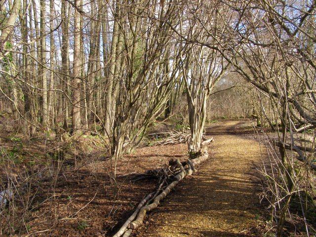 Alder coppice at Testwood Lakes nature reserve - geograph.org.uk - 344286