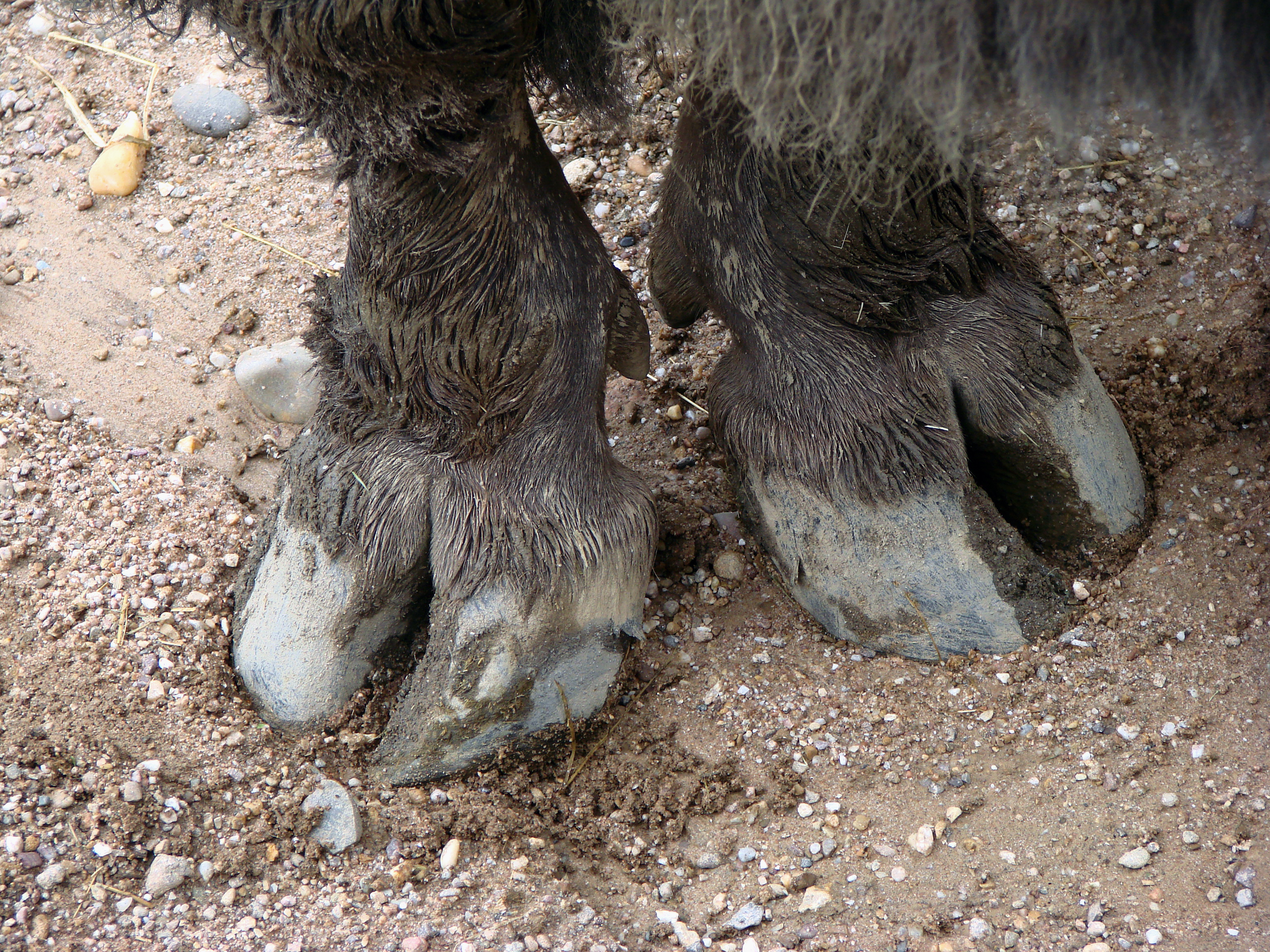 Image result for bison hooves