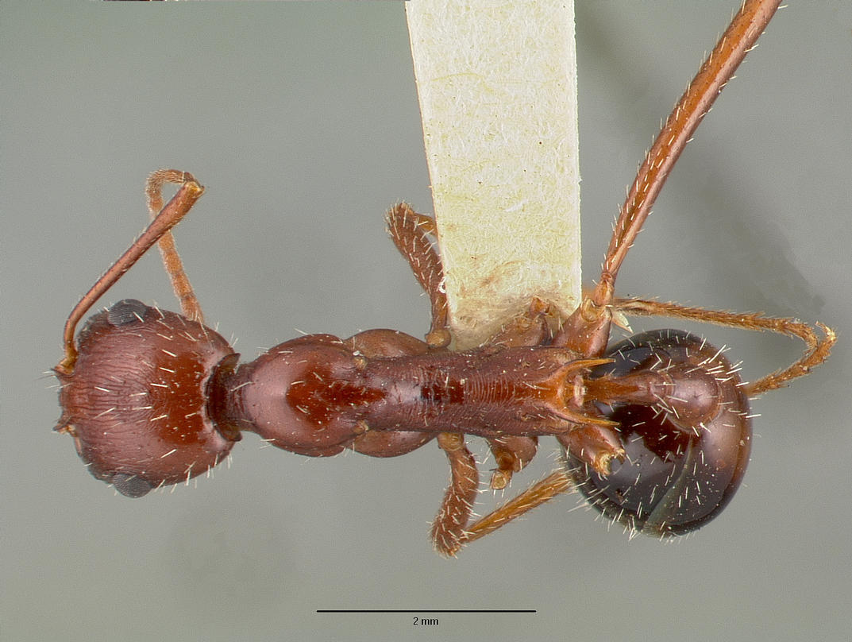 Dorsal view of ant Aphaenogaster cockerelli specimen castype00622