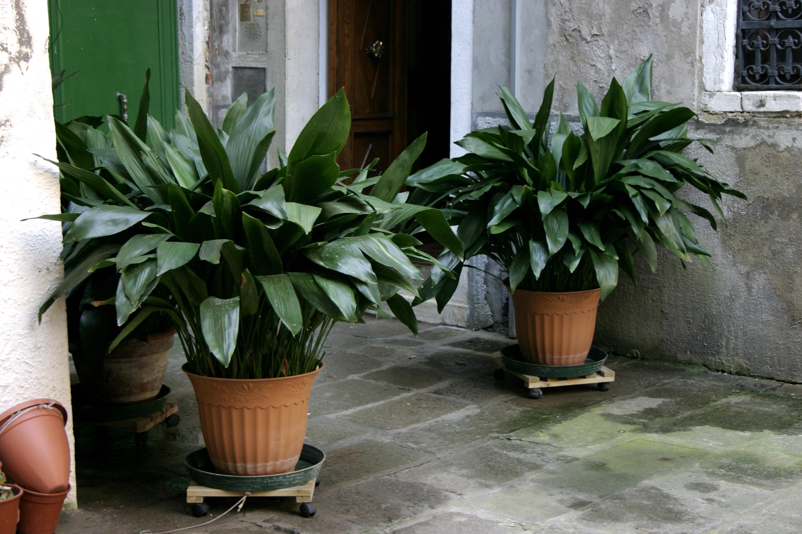 File aspidistra elatior wikipedia - Plantas de interior con flor ...