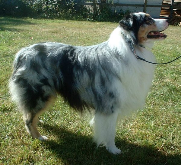 https://upload.wikimedia.org/wikipedia/commons/5/52/Australian_Shepherd_600.jpg
